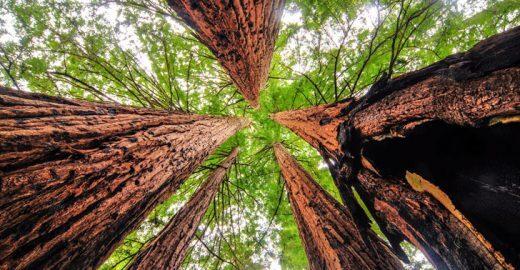 Estudo afirma que árvores mais velhas absorvem mais CO2 do que as novas