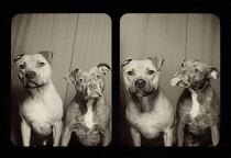 pit-bull-photo-booth-love-1_fora