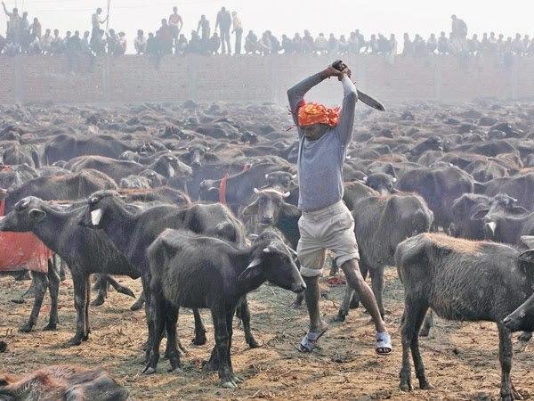 Culto acontece a cada cinco anos em região remota do Nepal - Foto:  ONG  Igualdade Animal