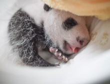 baby-panda-basket-yaan-debut-appearance-china-6-650x459