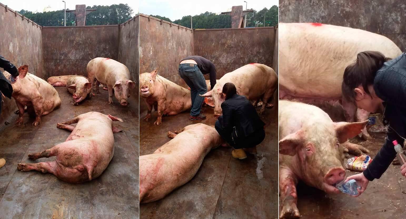Carreta que transportava porcos tomba e animais precisam de ajuda