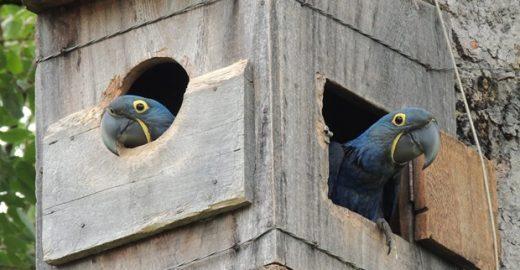 Sabia que você pode 'adotar um ninho' de arara azul?