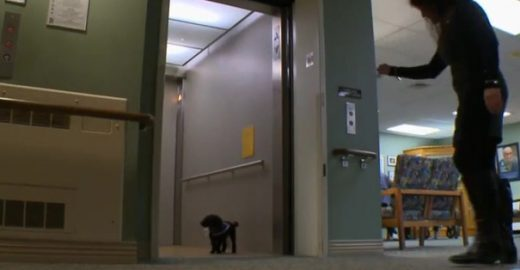 Cadelinha aprende a subir e descer de elevador para cuidar de idosos