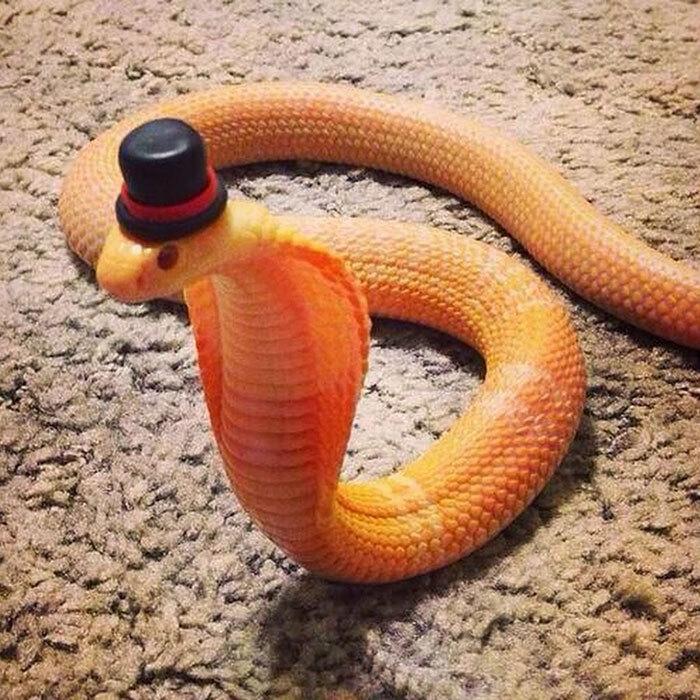 Internautas publicam fotos de cobras usando chapéu