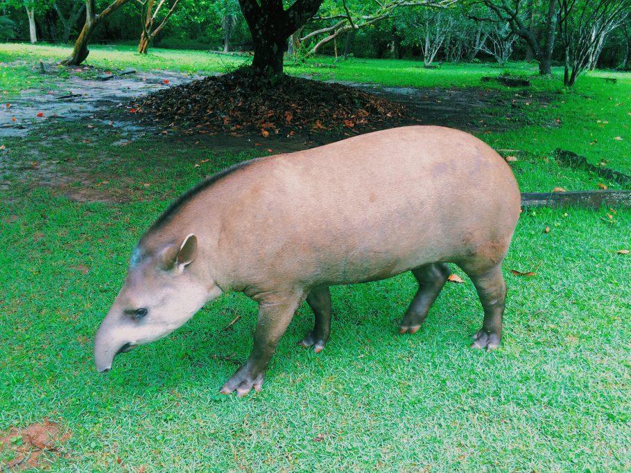 A cativante anta Gigi na fazenda Rio do Peixe