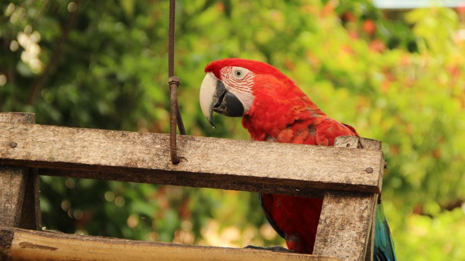 Arara vermelha no Recanto Ecológico Rio da Prata