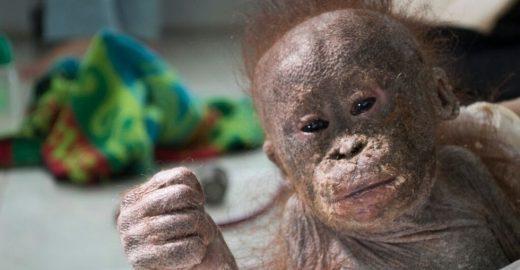 Bebê orangotango traumatizada abraça a si mesma por medo e angústia