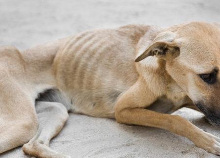 cachorro vira-lata caramelo muito magro vítima de maus-tratos aos animais