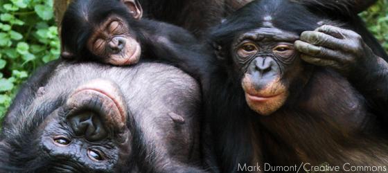 Sociedades matriarcais: bonobos