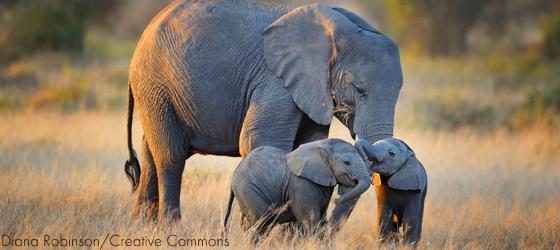 Sociedades matriarcais: elefantes