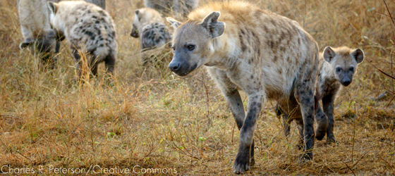 Sociedades matriarcais: hienas