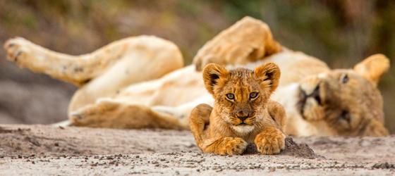 Sociedades matriarcais: leões