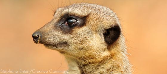 Sociedades matriarcais: suricatas