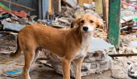 Cão perde família em terremoto no Equador e se recusa a deixar casa em ruínas