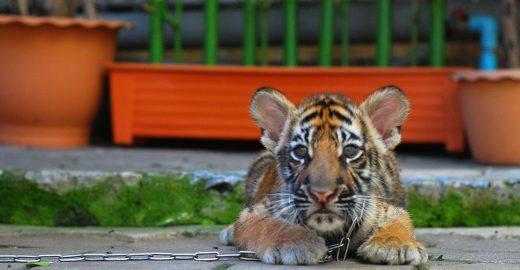 Petição pede que site de turismo pare de vender atrações cruéis com os animais