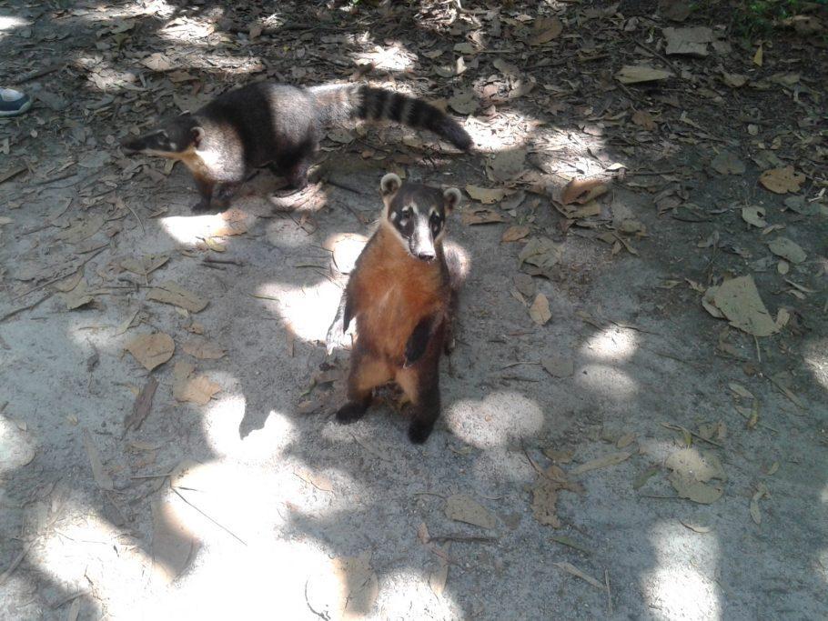 Os quatis vão atrás da sua comida, mas é proibido alimentar os animais Foto: Patrícia Ribeiro/Passeios Baratos em SP