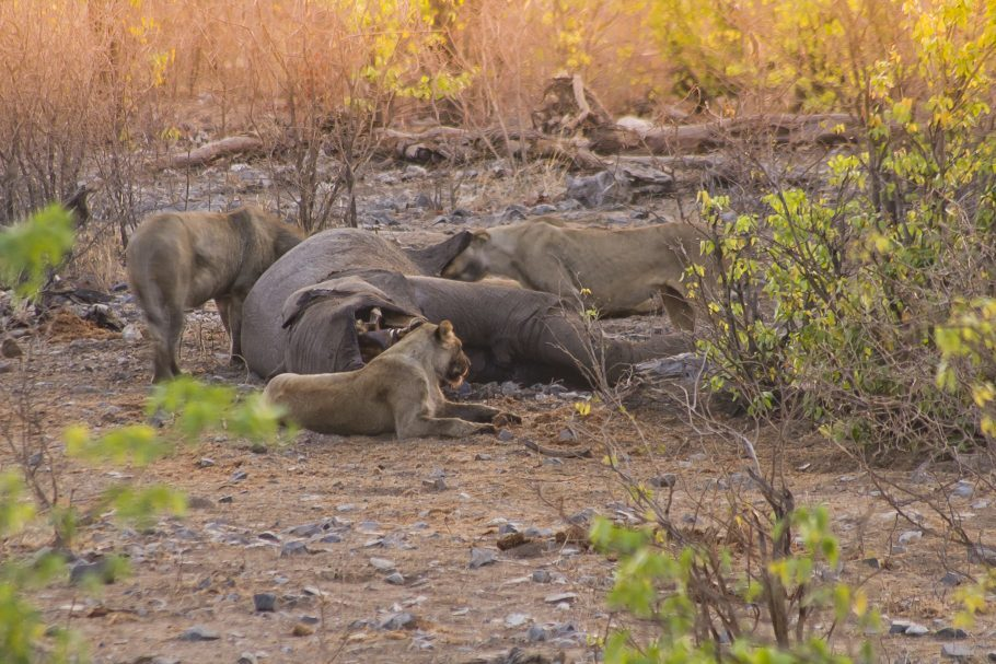 Leoas se alimentam de um elefante
