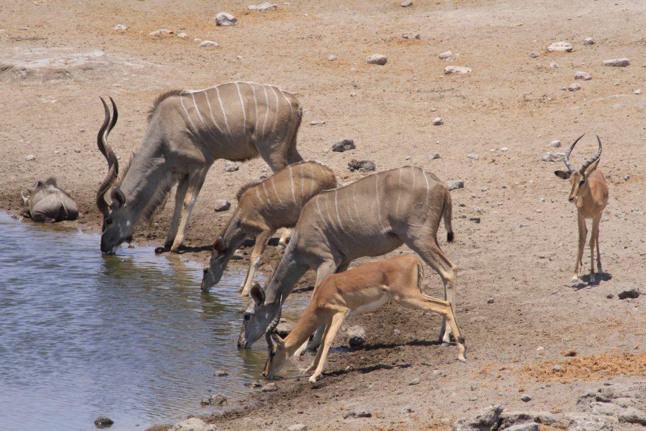 Antílopes no Etosha