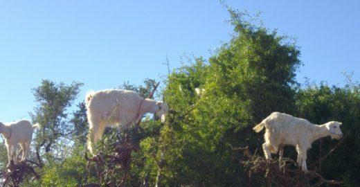 Cabras são forçadas a subir em árvores para distrair turistas