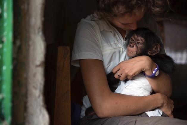 Chimpanzés são cuidados e depois reintegrados à natureza