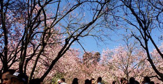 41ª Festa das Cerejeiras floreia o Parque do Carmo