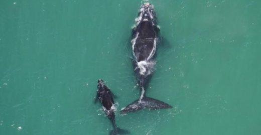 Como avistar baleias na costa de Santa Catarina