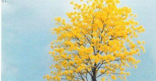 Dia da Árvore: o ipê amarelo em Rondônia que não queria ser poste