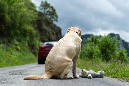 abandono animal na estrada: cachorro com urso de pelúcia olhando para o carro em movimento