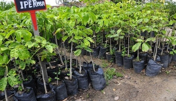 Mudas de árvores prontas para serem plantadas