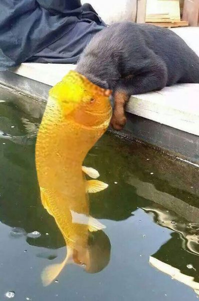 dog-kissing-fish-photoshop-battle-18-581df82870819__605