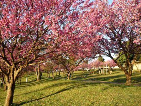 Cerejeiras florescendo no Parque do Carmo