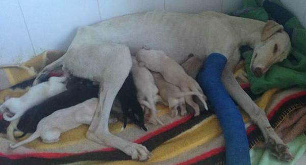 Cadela com a pata quebrada anda três quilômetros para resgatar filhotes