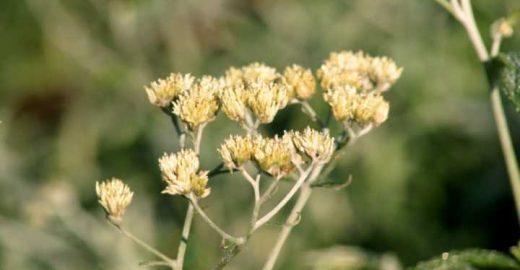 Macela: planta calmante, antisséptica, digestiva e antioxidante