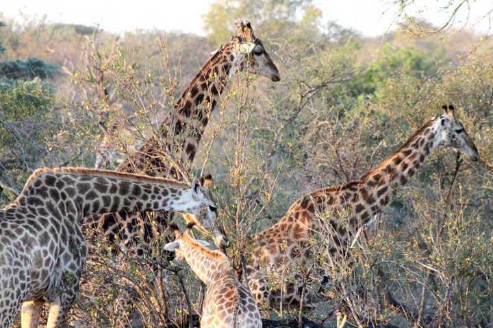 Muitas girafas livres e correndo: experiências mágicas dos safári na África do Sul