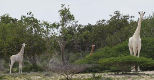 Girafas brancas são vistas em uma reserva no Quênia