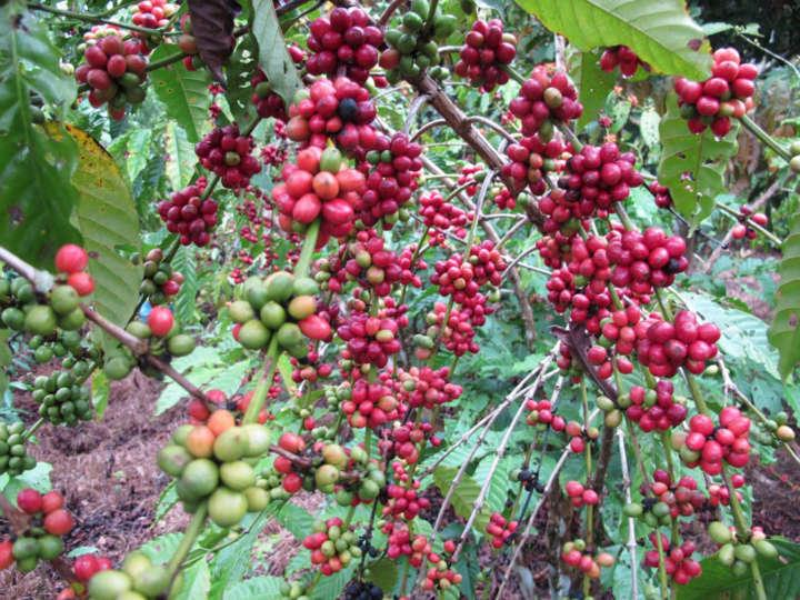 O 'Café em Agrofloresta' trouxe benefícios ambientais para a região
