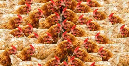 Califórnia pode proibir criação de galinhas e porcos em gaiolas