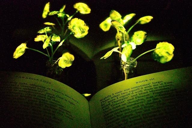 Cientistas do MIT criaram plantas que emanam luz; jovens folhas de agrião iluminam páginas de um livro