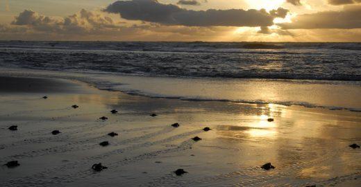 Desventuras em série de Tatuapara, a tartaruga-marinha viajante