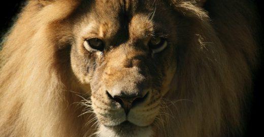 Caçador é pisoteado por elefante e devorado por leões na África