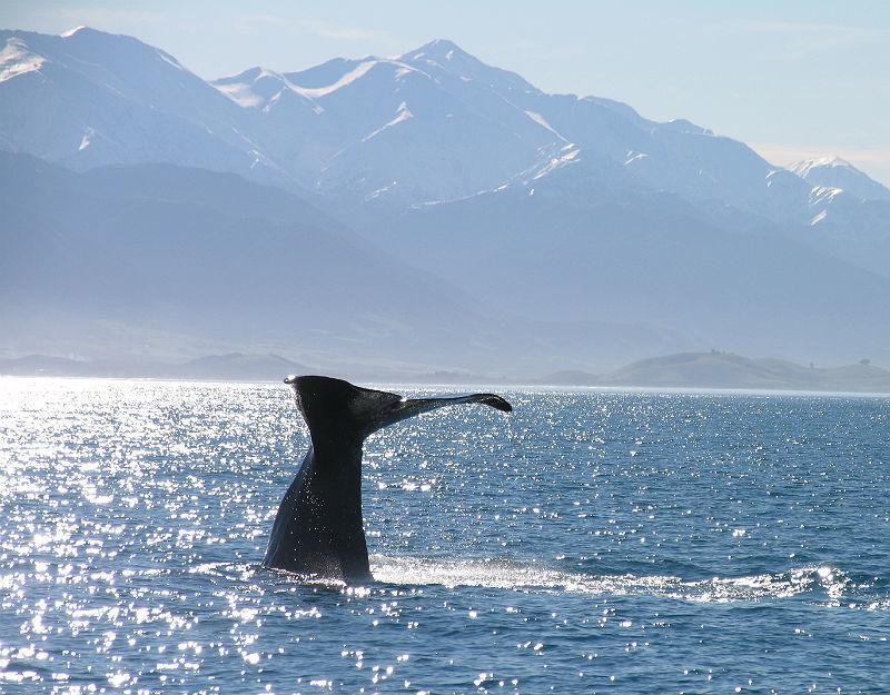 Observação de baleias em Kaikoura