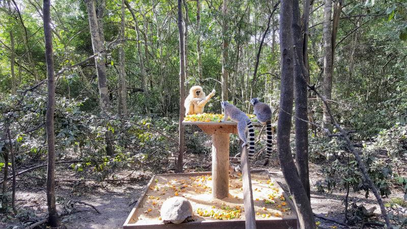 O santuário Monkeyland abriga mais de 700primatas