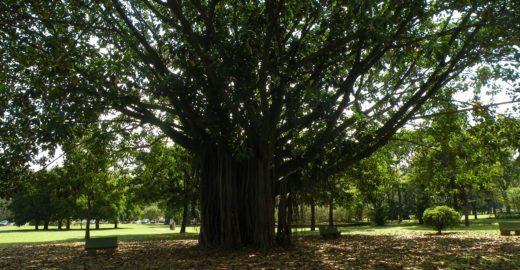 Aprenda sobre as árvores do Ibirapuera em um passeio guiado