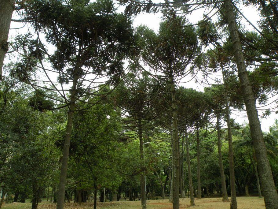 árvores no Parque Ibirapuera