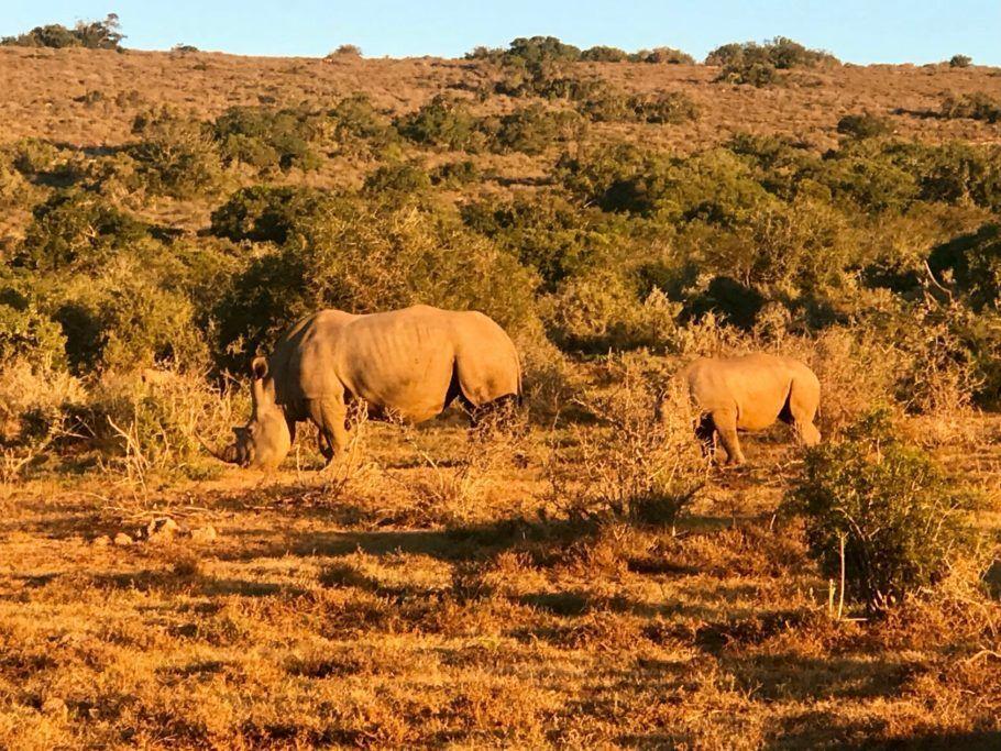 Rinocerontes precisam de seguranças armados 24 h para evitar que sejam mortos