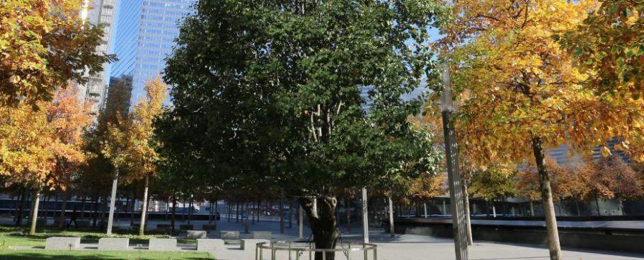 A árvore sobrevivente ao 11 de Setembro é uma pereira-de-jardim