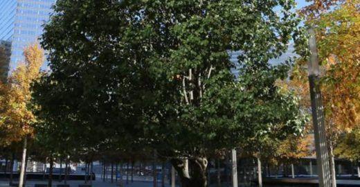 Árvore sobrevivente ao 11 de Setembro é flor que furou o asfalto