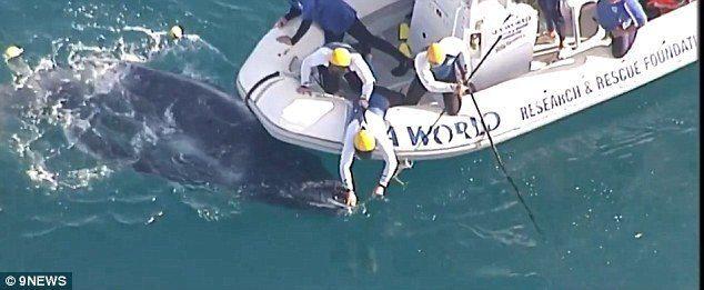 Filhote de baleia preso em rede de pesca no mar