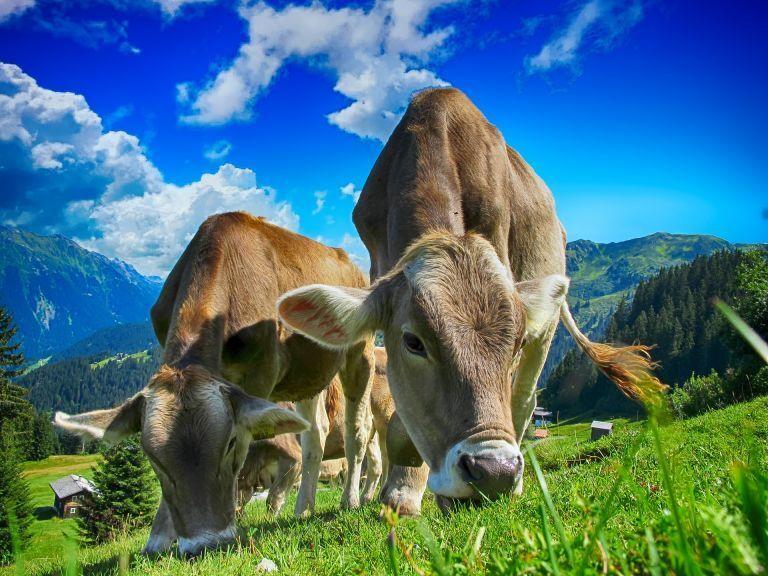 Duas vacas