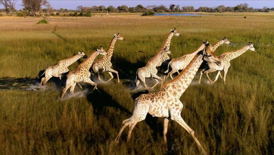 Girafas em debandada na África; que fujam mesmo dos caçadores